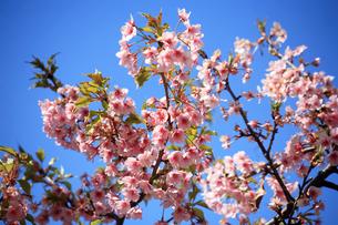 咲き揃った河津桜の花の写真素材 [FYI04620950]