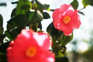 椿・薄紅色の花の写真素材 [FYI04620963]