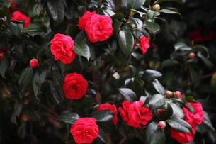 赤い椿の花の写真素材 [FYI04620973]