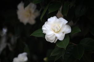 白い椿の花の写真素材 [FYI04620975]