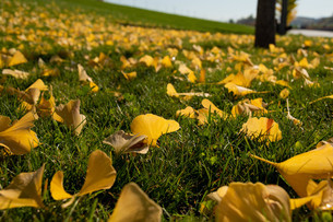 緑の芝生の上の黄色いイチョウの落ち葉の写真素材 [FYI04621013]
