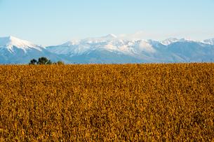 秋のダイズ畑と冠雪の山並み 十勝岳の写真素材 [FYI04621017]