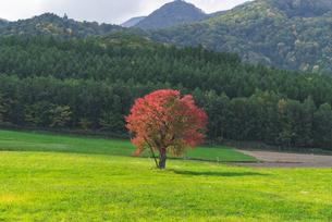 紅葉する一本桜の写真素材 [FYI04621039]