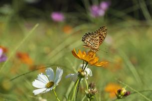 コスモスにとまる蝶の写真素材 [FYI04621157]