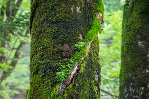 苔生す大台ヶ原の原生林の写真素材 [FYI04621259]
