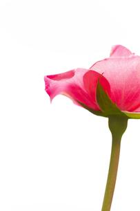 ピンクの薔薇の花の写真素材 [FYI04621282]