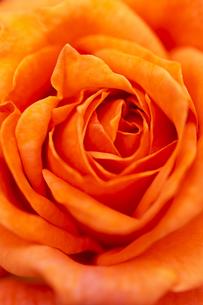 オレンジ色のバラの花 アップの写真素材 [FYI04621283]