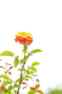バラの花の写真素材 [FYI04621285]