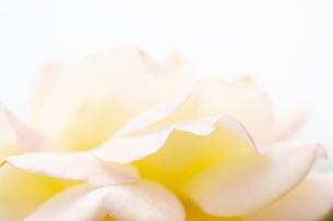バラの花びら アップの写真素材 [FYI04621289]