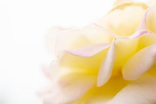 バラの花びら アップの写真素材 [FYI04621290]