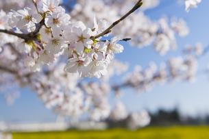 桜の花の写真素材 [FYI04621484]