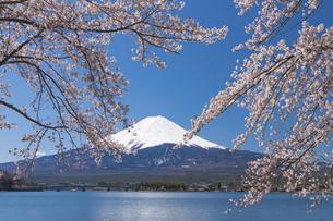 富士山と河口湖の桜の写真素材 [FYI04621540]