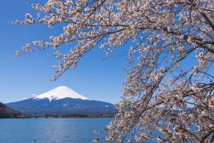 富士山と河口湖の桜の写真素材 [FYI04621542]