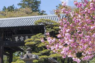 恵林寺 黒門と八重桜の写真素材 [FYI04621557]