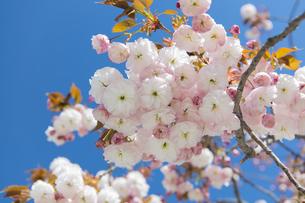 八重桜の写真素材 [FYI04621561]