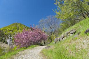 山道に咲く八重桜の写真素材 [FYI04621564]