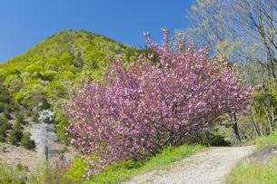 八重桜と新緑の山の写真素材 [FYI04621565]