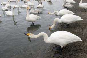 2月 屈斜路湖のオオハクチョウ -北海道の冬-の写真素材 [FYI04621587]