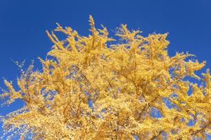 イチョウの黄葉の写真素材 [FYI04621638]