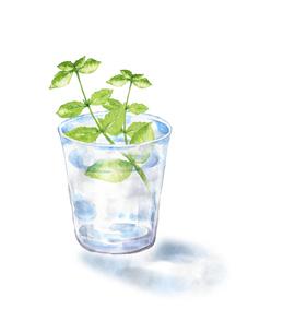 グラスの水に挿したミントのイラスト素材 [FYI04621725]