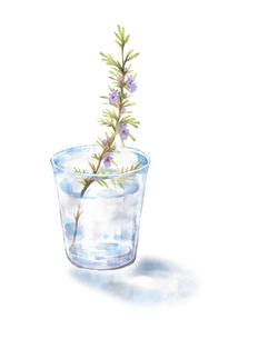 グラスの水に挿したローズマリーのイラスト素材 [FYI04621728]