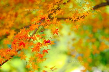 緑の背景に赤い葉っぱの写真素材 [FYI04621730]