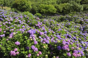 美の山公園のアジサイの写真素材 [FYI04621840]