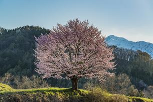 野平の一本桜の写真素材 [FYI04621886]