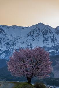 野平の一本桜の写真素材 [FYI04621887]
