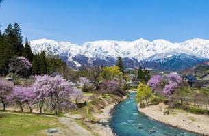 大出公園の桜とアルプスの写真素材 [FYI04621893]
