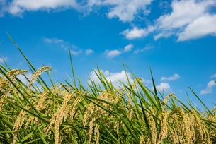 青空と実ったお米の写真素材 [FYI04621995]