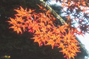 輝く紅葉の写真素材 [FYI04622232]