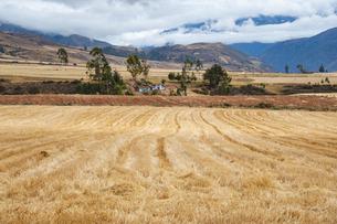 ペルー・クスコ近郊のチンチェーロ村の麦畑の写真素材 [FYI04622291]