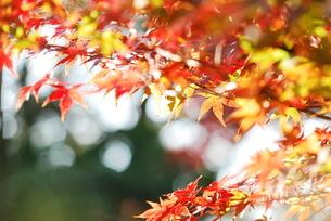 紅葉の木漏れ日の写真素材 [FYI04622475]