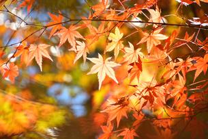 紅葉の木漏れ日の写真素材 [FYI04622476]