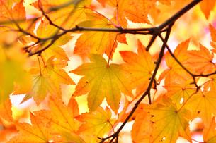 オレンジ色の紅葉の写真素材 [FYI04622482]