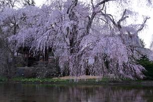 4月 安養寺(あんようじ)の枝垂れ桜の写真素材 [FYI04622680]
