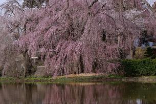 4月 安養寺(あんようじ)の枝垂れ桜の写真素材 [FYI04622684]