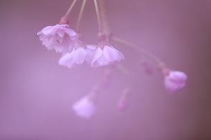 4月 サクラのクローズアップ -清雲寺の枝垂桜-の写真素材 [FYI04622800]