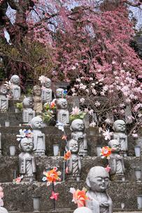 4月 洞雲寺のエドヒガンサクラと石仏の写真素材 [FYI04622806]