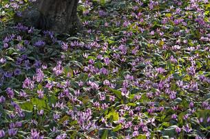 3月 カタクリの里 -栃木の三毳山-の写真素材 [FYI04622873]