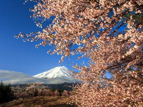 桜と富士山の写真素材 [FYI04622972]