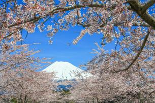 桜と富士山の写真素材 [FYI04622974]