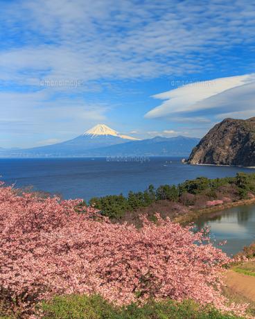 河津桜と富士山の写真素材 [FYI04623027]