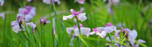 屋外で撮影した花菖蒲画像の写真素材 [FYI04623135]