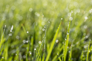 芝生の朝露の写真素材 [FYI04623199]