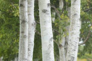 白樺の木々の写真素材 [FYI04623208]
