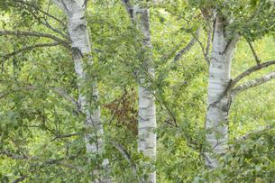 白樺の木々の写真素材 [FYI04623210]