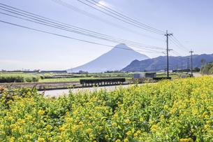 菜の花畑越しに遠く霞む開聞岳を望むの写真素材 [FYI04623491]