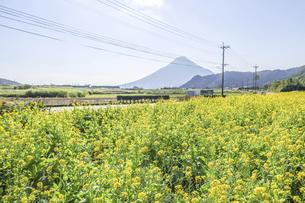菜の花畑越しに遠く霞む開聞岳を望むの写真素材 [FYI04623492]